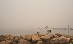 Smoke? What smoke? (OzzRod) Tags: pentax k1 soligor28mmf28 bushfire smoke pollution birds pelicans wharf rocks estuary hawkesburyriver mooneemoonee nsw