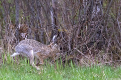 Rusakko (Lepus europaeus), European hare (G10A5351LR-2) (pohjoma) Tags: eläin jänis rusakko lepuseuropaeus europeanhare canoneos7dmarkii canonef100400mmf4556lisiiusm finland wildanimal animal mammal nature wildlife