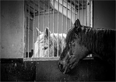 Prison (Fitzpaine) Tags: horse horses bars window whitehorse equestrian equine stable stables farm rural blackandwhite bw monochrome mono xh1 fujixh1 fujifilmxh1 davidjdalley staplefitzpaine taunton tauntondeane somerset westcountry england uk friends friendship bestfriends bestfriend friend jail prison prisonbars