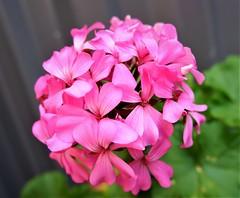 Geranium Flower (Fletcher_Foto_Factory) Tags: pink green grey black purple garden nature photograpy outside