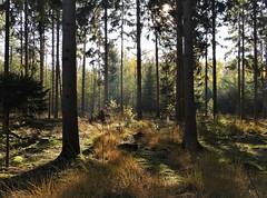 Autumn in the woods near Baarn - Utrecht (joeke pieters) Tags: 1510497 panasonicdmcfz150 heuvelrugroute baarn utrechtseheuvelrug utrecht nederland holland bos forest woods licht tegenlicht light backlight herfst autumn fall herbst automne
