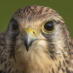 Kestrel (f) (Mr F1) Tags: wild female sony raptor kestrel a7riii uk detail nature eyes europe wildlife feathers somerset naturalhistory stare birdsofprey bop johnfanning reflectionineye