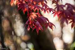 Light bokeh (Irina1010) Tags: branch tree maple leaves red colorful foliage bokeh light autumn mood nature canon coth5