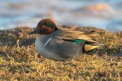 green winged teal (ianbollen) Tags: bird duck teal england yorkshire blacktoft
