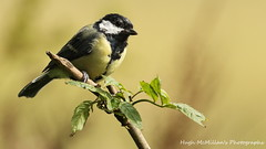 Photo of Great tit