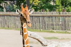Giraffe (lucadimarzo) Tags: rome animal zoo giraffe italy sun canon 100d