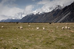 Doesn't get more New Zealand than that!! :-) (RollingSwell) Tags: newzealand mountain wool nationalpark sheep mtcook baa snow clouds outside kiwi freshair takemeback hiking hookervalley breathtaking aoraki