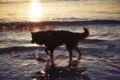 Totoro (Jos Mecklenfeld) Tags: zee meer sea noordzee nordsee northsea strand beach sunset sonnenuntergang zonsondergang totoro dutchshepherd hollandseherder holländischerschäferhund shepherd shepherddog herder herdershond schäferhund dog hund hond sonya6000 sonyilce6000 sonye55210mmf4563oss sel55210 callantsoog noordholland netherlands
