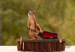 red squirrel playing on a guitar (Geert Weggen) Tags: humor squirrel animal artscultureandentertainment author backlit bright classicalmusic closeup cute horizontal low mammal music musicalinstrument nature photography red rodent sun sweden table harp nopeople woodmaterial podium concert guitar equipment bowmusicalequipment stringinstrument play bispgården jämtland geert weggen ragunda