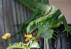 A Big Bite (ACEZandEIGHTZ) Tags: lizard reptile bokeh macro green flowers lantana eating closeup nikond3200 scales woodenfence iguana coth5 sunrays5 coth alittlebeauty