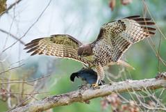 redtail and the coot (knobby6) Tags: redttail raptor buteo hawk birdofprey coot