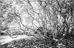 Furzey Gardens (Attila Pasek (Albums!)) Tags: nikonf90 furzeygardens analogue adoxirhrpro50 infrared camera bw garden tree 35mm film blackandwhite