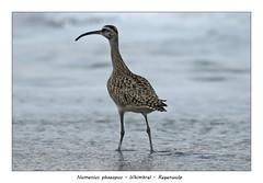 Whimbrel (Jan H. Boer, Nature photographer) Tags: numeniusphaeopus whimbrel regenwulp birds shorebirds nature wildlife costarica bocapaguare nikon d500 afsnikkor200500f56e jansphotostream2019
