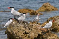 Caspian Terns (philk_56) Tags: western australia perth woodman point bird caspian tern rocks sea hot weather