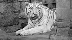 Tiger - 7834 (✵ΨᗩSᗰIᘉᗴ HᗴᘉS✵85 000 000 THXS) Tags: fauve monochrome tigre tiger animal belgium europa aaa namuroise look photo friends be yasminehens interest eu fr party greatphotographers lanamuroise flickering challenge sony sonydscrx10m4