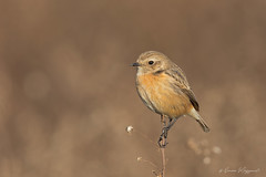 Saltimpalo (Simone Mazzoccoli) Tags: stonechat wild wildlife nature bird birds animal canon winter sunrise bokeh ornithology birdwatching colors