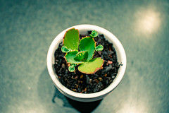 Succulents 006 (commontropes) Tags: sonya7rii sony a7rii alpha succulent succulents pot plant plants flora houseplant lensbaby burnside 35mm