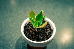 Succulents 007 (commontropes) Tags: sonya7rii sony a7rii alpha succulent succulents pot plant plants flora houseplant lensbaby burnside 35mm