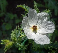 White Anemone (jrphotos98) Tags: anemone flower texture closeup
