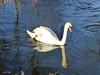 I am a swan...