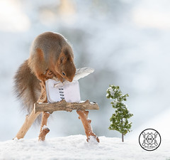red squirrel holding an feather with a book (Geert Weggen) Tags: animal squirrel art artandcraft artist book easel horizontal mammal nature paintbrush paintedimage painting photography plant red reliefemotion rodent sunlight taillight read text page blank winter snow word pencil write feather bispgården jämtland sweden geert weggen ragunda