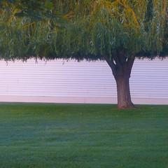 blunt cut (msdonnalee) Tags: tree arbol árvore baum grass