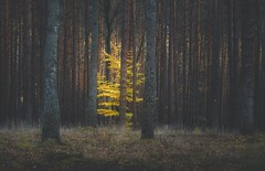 (Małgorzata M-K) Tags: las jesień mrok kolor drzewa forest nature fairy naturephotography autumn tree colors