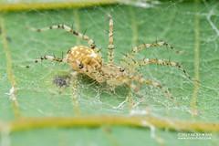 Spiny sac spider (Echinax sp.) - DSC_2463 (nickybay) Tags: riflerangeroad macro singapore echinax sac spider corinnidae spiny