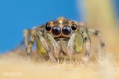 Jumping spider (Salticidae) - DSC_2441 (nickybay) Tags: riflerangeroad macro singapore salticidae jumping spider