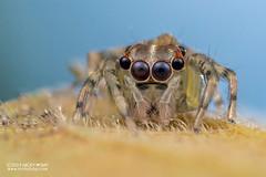 Jumping spider (Salticidae) - DSC_2383 (nickybay) Tags: riflerangeroad macro singapore salticidae jumping spider