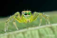 DSC_2329 (nickybay) Tags: riflerangeroad macro singapore epeus jumping spider salticidae