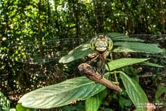 Dragonfly - DSC_2550 (nickybay) Tags: riflerangeroad macro singapore dragonfly odonata anisoptera cctv wideangle fisheye