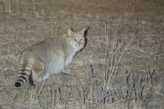 Chinese Mountain Cat (Tim Melling) Tags: felis bieti chinese mountain cat desert steppe sichuan china timmelling