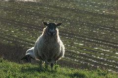 And!! (Macro light) Tags: worcestershire sheep farming rushwick temevalley farmland