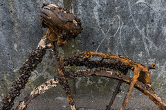 Muscle bike ... eehh ... mussel bike (Ivan van Nek) Tags: grootwezenland zwolle overijssel thenetherlands mussels mosselen rusty crusty bicycle fiets vélo fahrrad nikon d7200 sigma1770 dutch bike tringtring roestig nederland dieniederlande paysbas