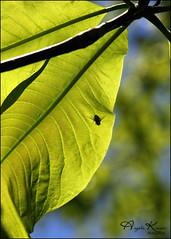 Shooo Fly... (angelakanner) Tags: canon70d tamron18400 leaves fly green bokeh naturallight bayardcuttingarboretum longisland shadow