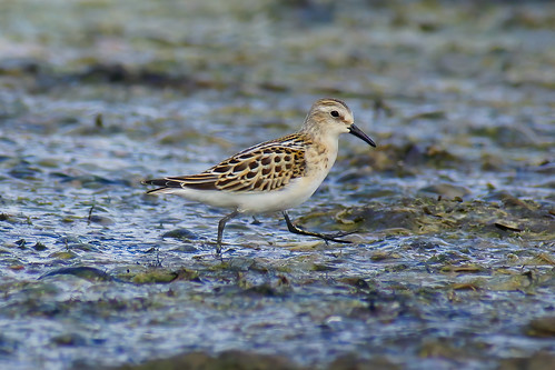 Little Stint_03