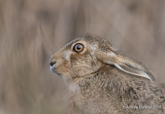 Brown hare close up portrait (Gowild@freeuk.com) Tags: wild wildlife nature countryside andrewmarshall nikon uk rspb hare hares brownhare lepuseuropeus mammal winter