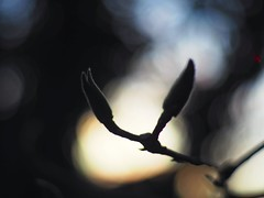Garden Bokeh | 10. Dezember 2019 | Tarbek - Schleswig-Holstein - Deutschland (torstenbehrens) Tags: garden bokeh | olympus penf 7xef53mm f12 mein nagelneues yongnuo 50mm f18 meldet an den ef mft adapter es sei ein 75mm objektiv und wird zu einem 53mm umgerechnet 10 dezember 2019 tarbek schleswigholstein deutschland