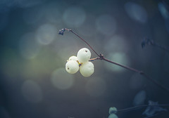Snowberries (Dhina A) Tags: sony a7rii ilce7rm2 a7r2 a7r hugo meyer kinon superior 5cm kinonsuperior5cm 50mm projection projector lens bokeh swirly manualfocus