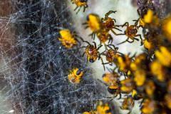 [Araneus diadematus]-[GBR-Skokholm Island] (Mike Creighton) Tags: animalia arachnida arthropoda araneusdiadematus araneidae araneaespiders wales pembrokeshire marloes gardenspider benched activitypeople