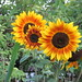 'Autumn Beauty' Sunflower