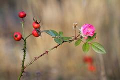 Last rose (Mah Nava) Tags: rose lastrose last autumn herbst pink
