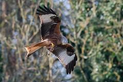 Red Kite feeding Dec 2019 (In Explore) (jgsnow) Tags: bird raptor kite redkite feeding flight