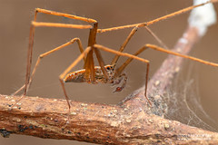 Long-legged wandering spider (Acantheis sp.) - DSC_2446 (nickybay) Tags: riflerangeroad macro singapore longlegged wandering spider ctenidae acantheis acantheinae male