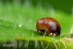 Pill-like planthopper (Hemisphaerius sp.) - DSC_2399 (nickybay) Tags: riflerangeroad macro singapore issidae hemisphaerius pilllike planthopper