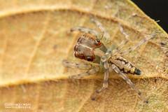 Jumping spider (Salticidae) - DSC_2388 (nickybay) Tags: riflerangeroad macro singapore salticidae jumping spider
