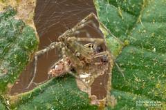 Nursery web spider (Sphedanus sp.) - DSC_2361 (nickybay) Tags: riflerangeroad macro singapore nursery web spider pisauridae sphedanus