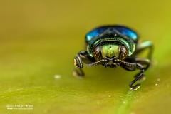 Jewel beetle (Endelus sp.) - DSC_2359 (nickybay) Tags: riflerangeroad macro singapore jewel beetle buprestidae endelus