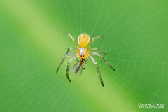 Orb weaver spider (Araneidae) - DSC_2319 (nickybay) Tags: riflerangeroad macro singapore araneidae orb weaver spider